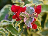 agar-tanaman-menjadi-variegata