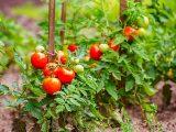 agar buah tomat berbuah lebat