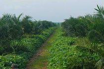 budidaya-kelapa-sawit