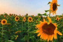 cara-budidaya-bunga-matahari