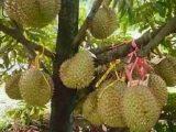cara-memanen-buah-durian