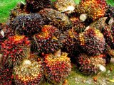 cara-memanen-kelapa-sawit