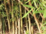 cara-mematikan-pohon-bambu