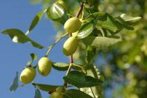 cara-menanam-apel-india