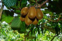 cara-menanam-biji-kiwi