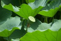 cara-menanam-biji-lotus