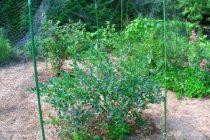 cara-menanam-blueberry