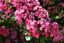 cara-menanam-bunga-sakura