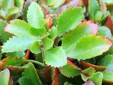 cara-menanam-cocor-bebek
