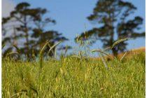 cara-menanam-gandum