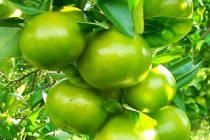 cara-menanam-jeruk-keprok