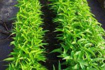 cara-menanam-kangkung-organik
