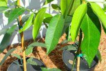 cara-menanam-manggis