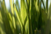cara-menanam-rumput-gandum