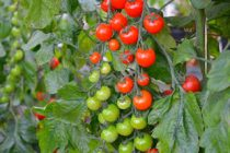 cara-menanam-tomat-cherry