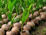 cara-menyemai-buah-kelapa