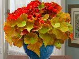 cara-merawat-tanaman-begonia