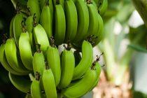 cara-panen-pisang-cavendish