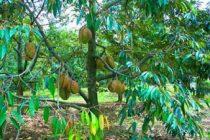 ciri-ciri-durian-montong