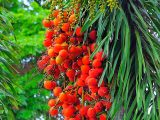 kelapa-sawit-berbuah-lebat