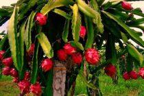 memangkas-pohon-buah-naga