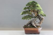 membentuk-bonsai-untuk-pemula