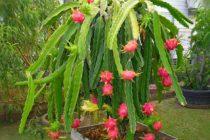 menanam-buah-naga-di-pot