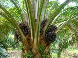 pemupukan-kelapa-sawit