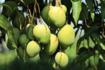 pengendalian-penyakit-pohon-mangga