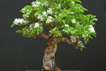 penyebab-bahan-bonsai-mati