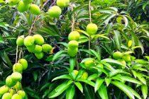 penyebab-tanaman-tidak-berbuah