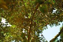 pohon-durian-cepat-berbuah