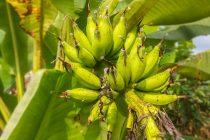 pohon-pisang-tidak-terkena-penyakit