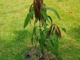 stek-batang-tanaman-mangga