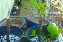 stek-batang-tanaman-tin