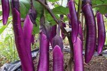 tanaman-terong-berbuah-lebat
