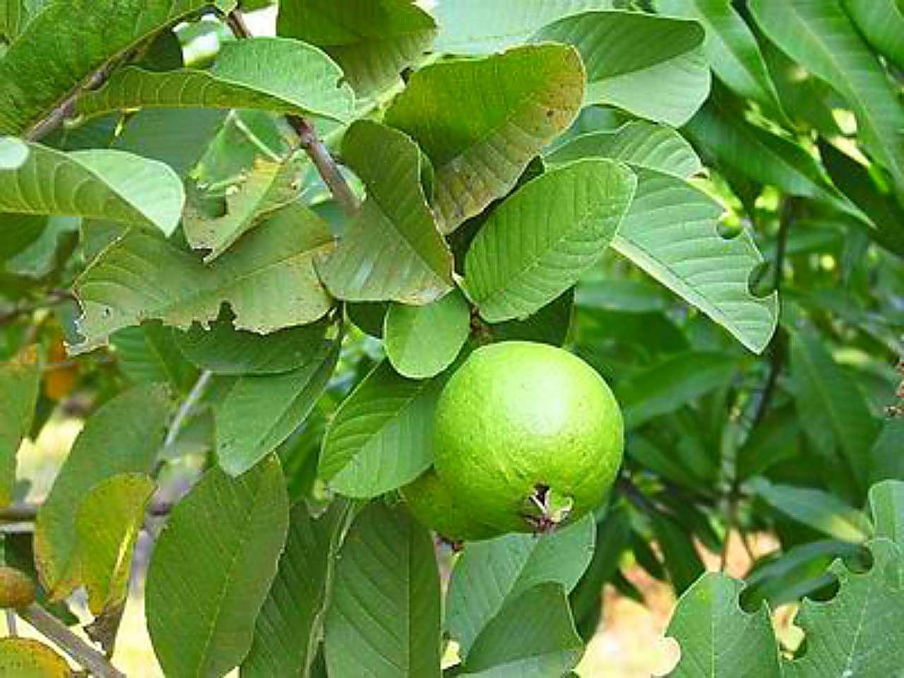 5 Cara Merawat Pohon Jambu Biji Agar Berbuah Lebat Toko Tanaman