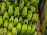 agar-buah-pisang-mulus