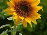 agar-bunga-matahari-cepat-berbunga