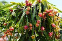buah-naga-cepat-berbuah