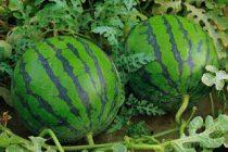 buah-semangka-siap-panen