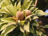 budidaya-buah-sawo-jumbo