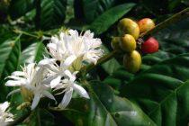 budidaya-kopi-liberika