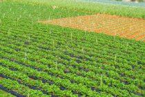 budidaya-tanaman-sawi-putih