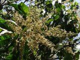 bunga-mangga-tidak-rontok