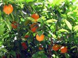 cara-budidaya-jeruk-keprok