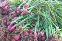 cara-memanen-bawang-merah