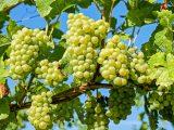 cara-memangkas-anggur