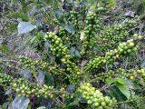 cara-memangkas-pohon-kopi