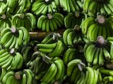 cara-mematangkan-buah-pisang